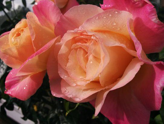 Dernières roses de Swindon